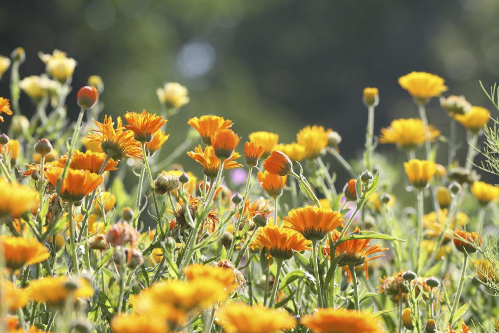 meadow with pot marigold - calendula officinalis