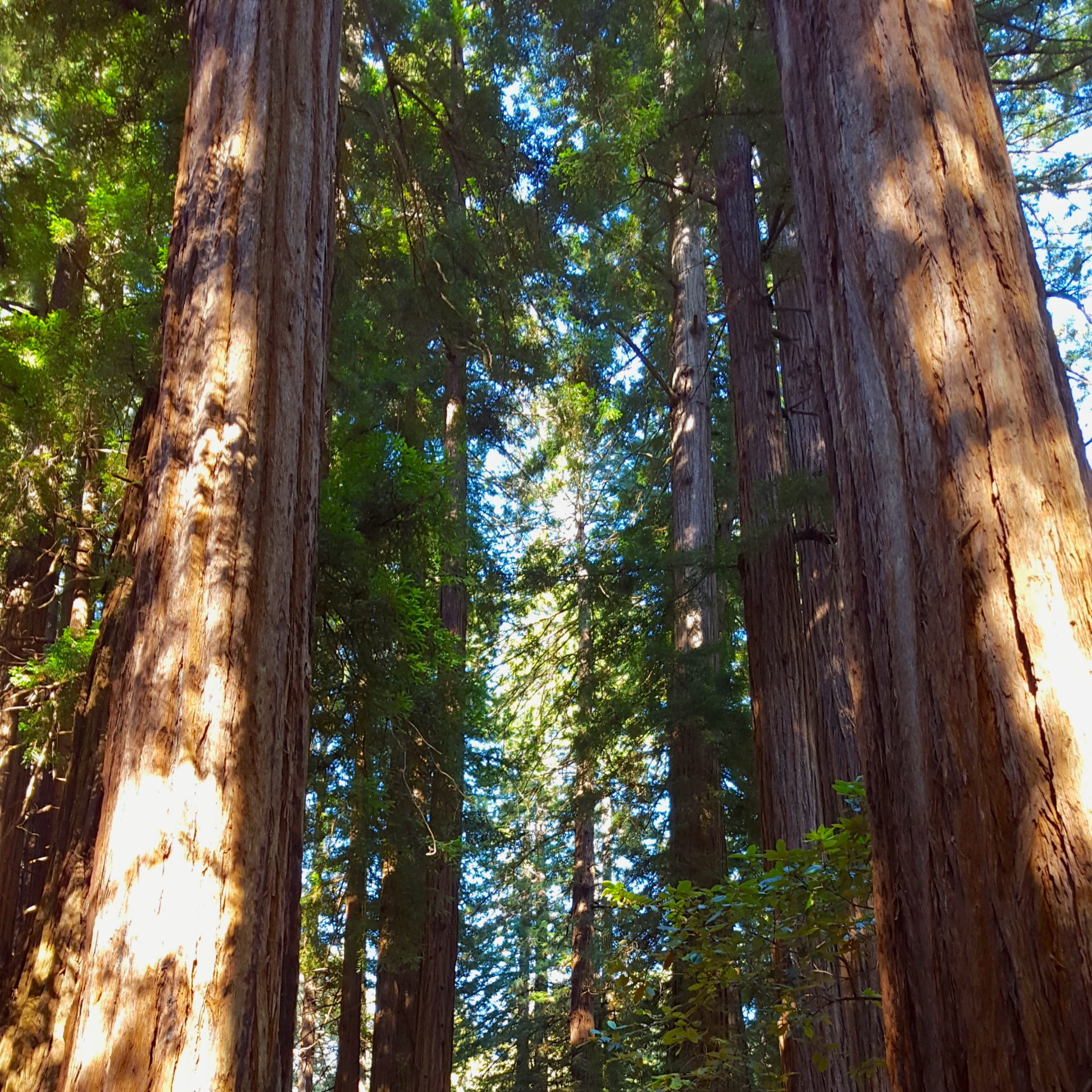muir woods redwoods