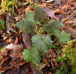 wild nettle leaves